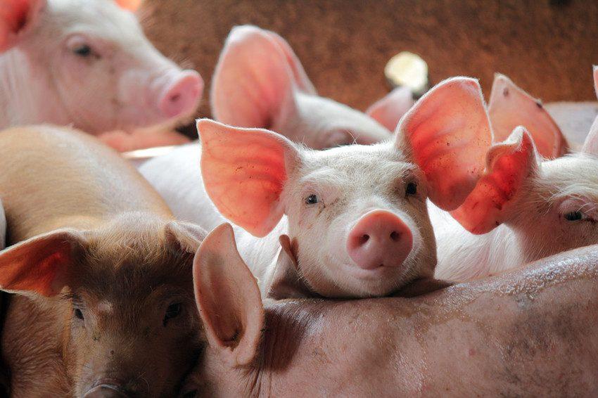Cum se poate preveni pesta porcina africana?