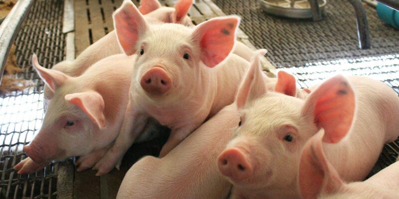 Biosecuritatea in ferma de porci, esentiala pentru a preveni pesta porcina africana